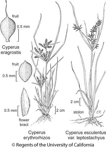botanical illustration including Cyperus erythrorhizos