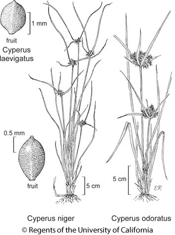 botanical illustration including Cyperus odoratus