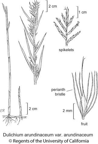 botanical illustration including Dulichium arundinaceum var. arundinaceum