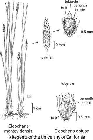 botanical illustration including Eleocharis montevidensis
