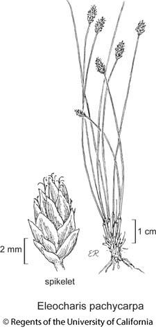 botanical illustration including Eleocharis pachycarpa