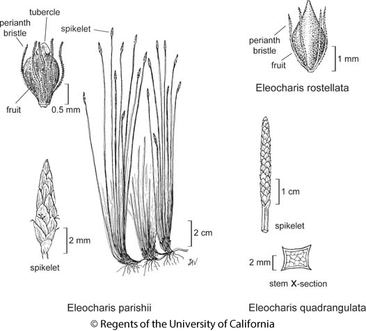 botanical illustration including Eleocharis parishii