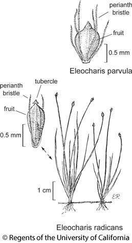 botanical illustration including Eleocharis radicans