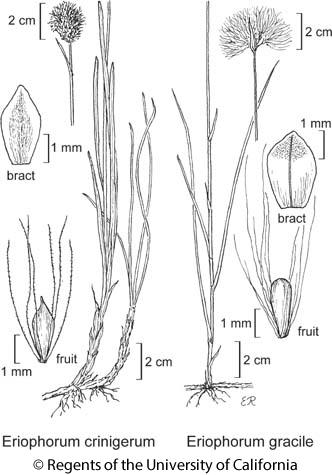 botanical illustration including Eriophorum gracile
