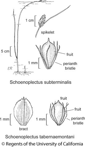 botanical illustration including Schoenoplectus tabernaemontani