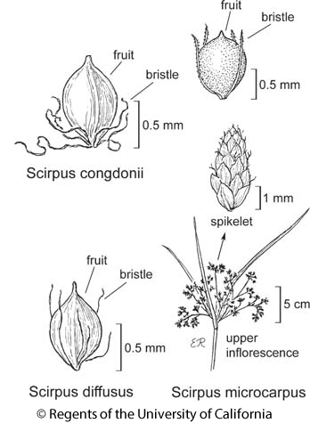 botanical illustration including Scirpus microcarpus