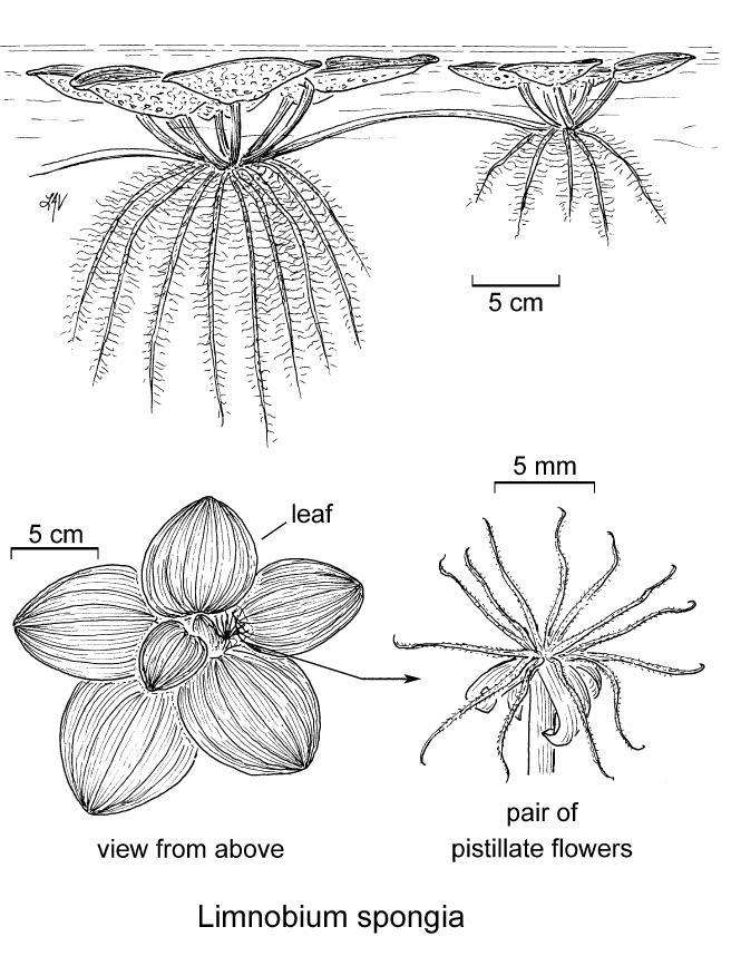 botanical illustration including Limnobium spongia
