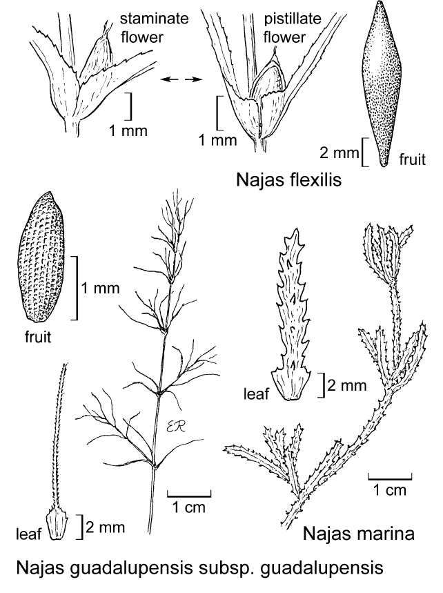 botanical illustration including Najas flexilis