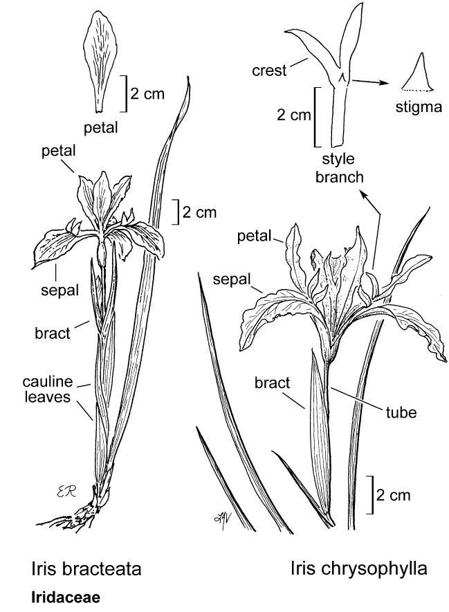 botanical illustration including Iris chrysophylla