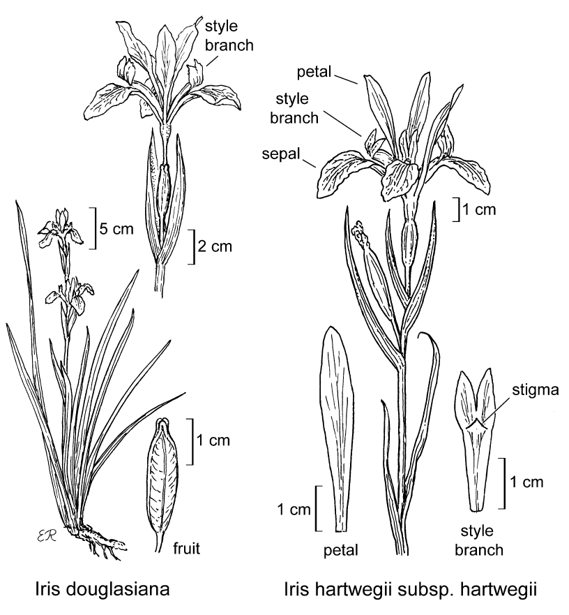 botanical illustration including Iris hartwegii subsp. hartwegii