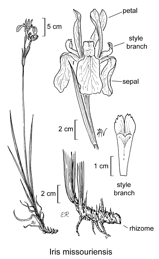 botanical illustration including Iris missouriensis