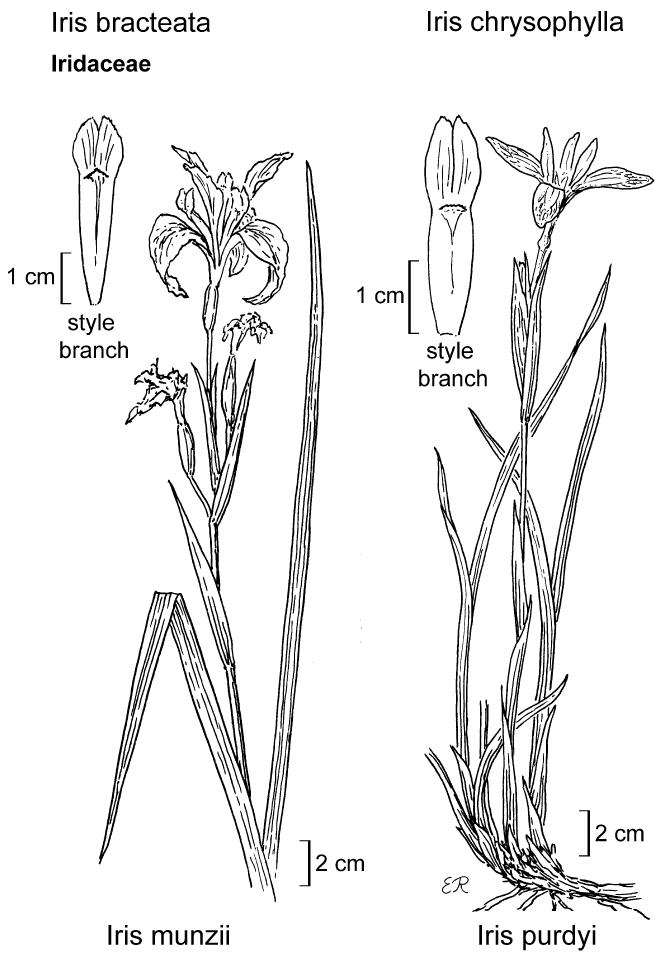 botanical illustration including Iris munzii