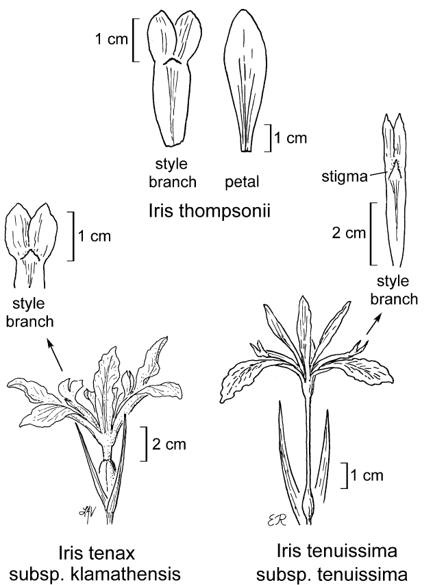 botanical illustration including Iris thompsonii