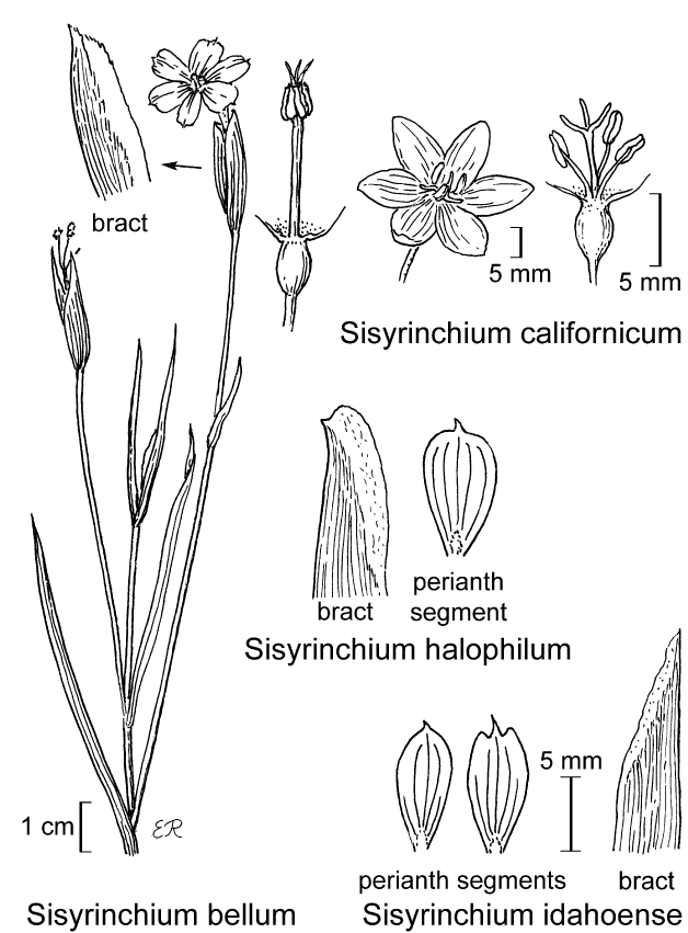 botanical illustration including Sisyrinchium halophilum
