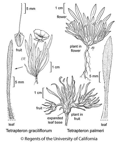 botanical illustration including Tetrapteron palmeri