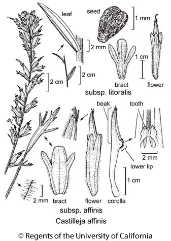 botanical illustration including Castilleja affinis subsp. affinis