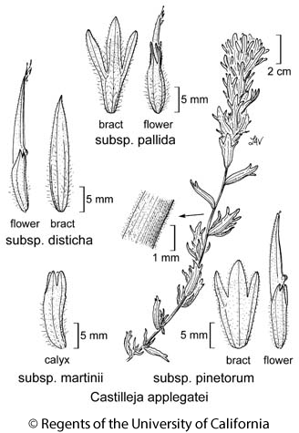 botanical illustration including Castilleja applegatei subsp. disticha