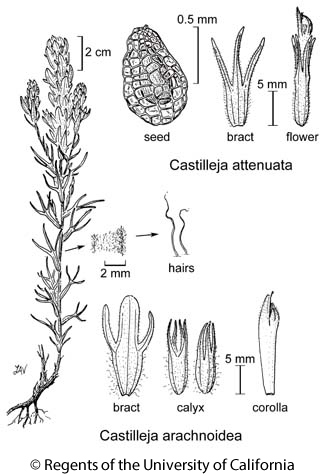 botanical illustration including Castilleja arachnoidea