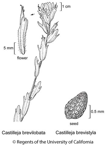 botanical illustration including Castilleja brevistyla