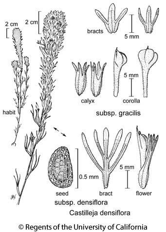 botanical illustration including Castilleja densiflora subsp. densiflora