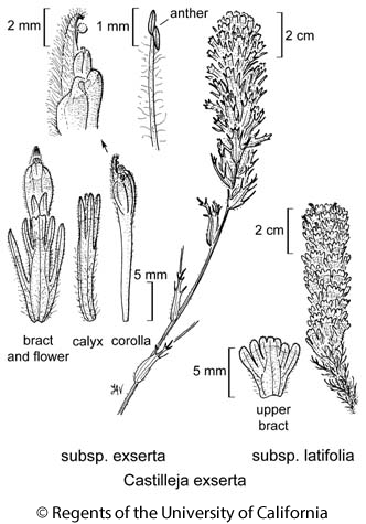 botanical illustration including Castilleja exserta subsp. exserta