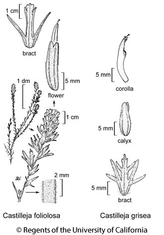 botanical illustration including Castilleja foliolosa