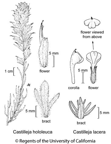botanical illustration including Castilleja hololeuca