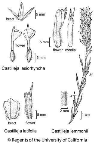 botanical illustration including Castilleja lemmonii