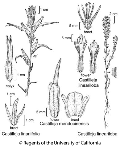 botanical illustration including Castilleja linariifolia