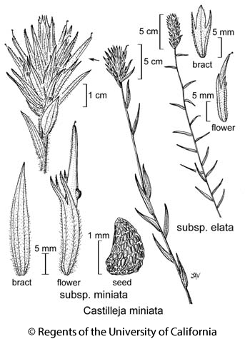 botanical illustration including Castilleja miniata subsp. elata