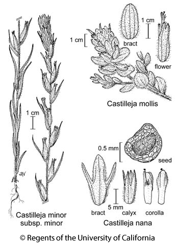 botanical illustration including Castilleja mollis