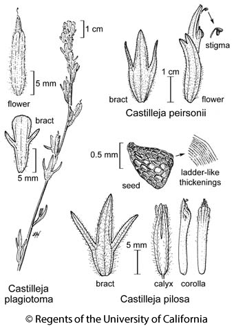 botanical illustration including Castilleja plagiotoma