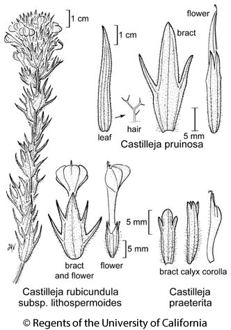 botanical illustration including Castilleja pruinosa