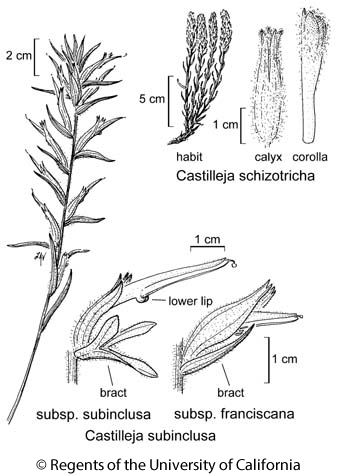 botanical illustration including Castilleja subinclusa subsp. subinclusa
