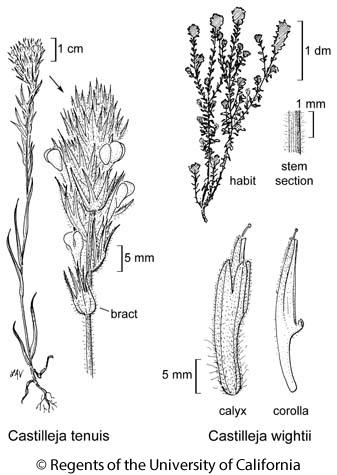 botanical illustration including Castilleja tenuis
