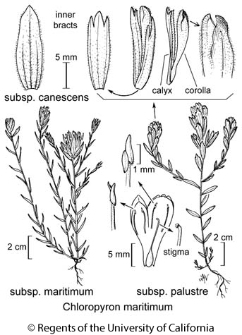 botanical illustration including Chloropyron maritimum subsp. canescens