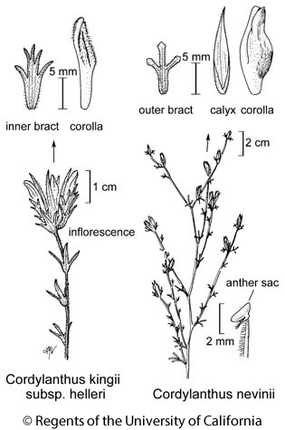 botanical illustration including Cordylanthus kingii subsp. helleri