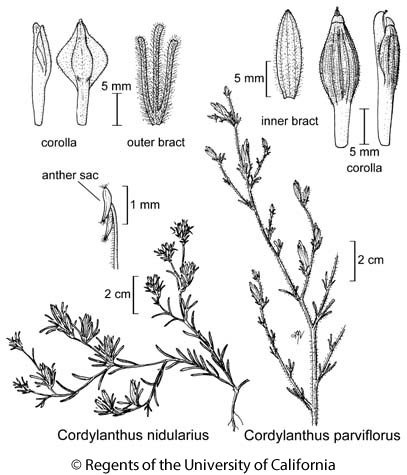 botanical illustration including Cordylanthus parviflorus