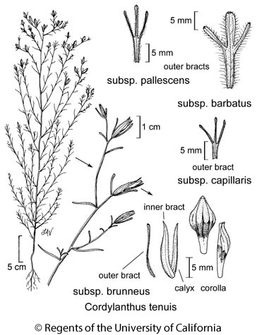 botanical illustration including Cordylanthus tenuis subsp. barbatus
