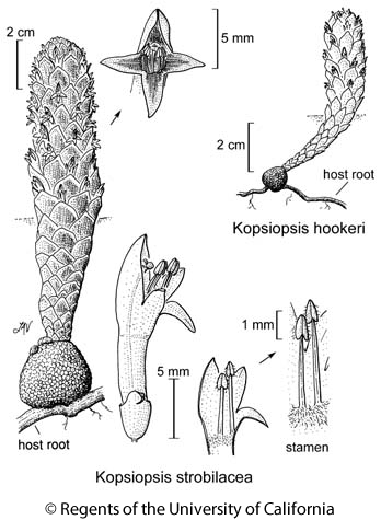 botanical illustration including Kopsiopsis hookeri