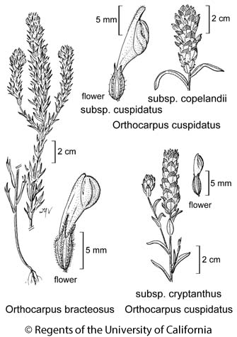botanical illustration including Orthocarpus bracteosus