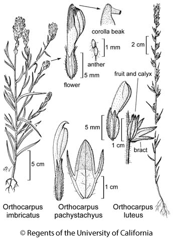 botanical illustration including Orthocarpus luteus