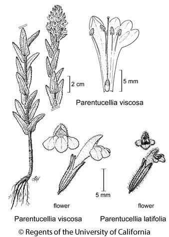 botanical illustration including Parentucellia viscosa