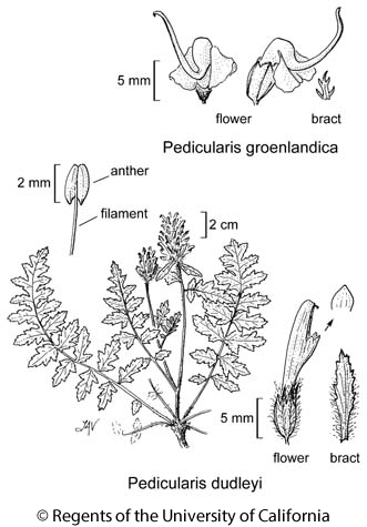 botanical illustration including Pedicularis groenlandica
