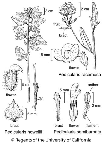 botanical illustration including Pedicularis racemosa
