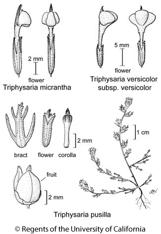 botanical illustration including Triphysaria versicolor subsp. versicolor