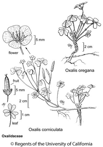 botanical illustration including Oxalis corniculata