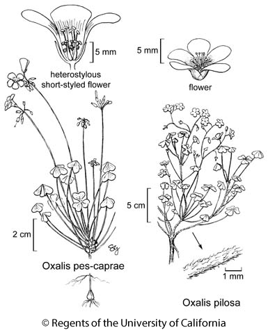botanical illustration including Oxalis pes-caprae