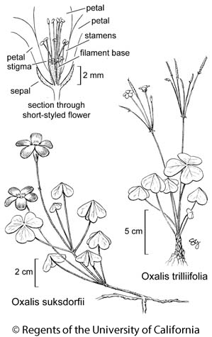 botanical illustration including Oxalis trilliifolia