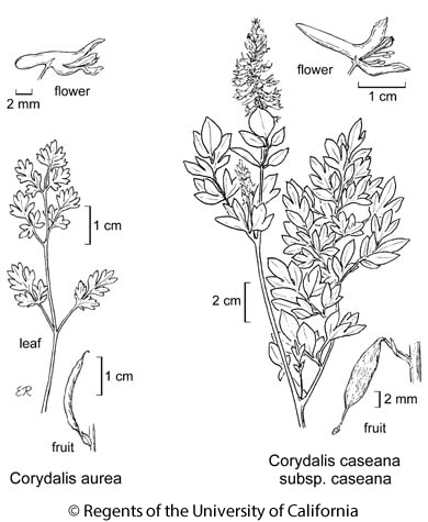 botanical illustration including Corydalis aurea